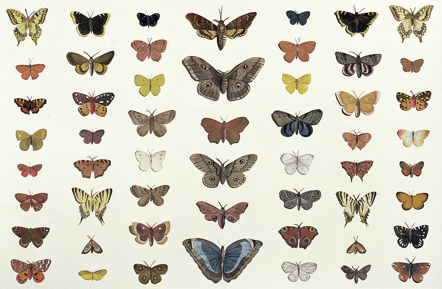 A Collage Of Butterflies And Moths Drawing