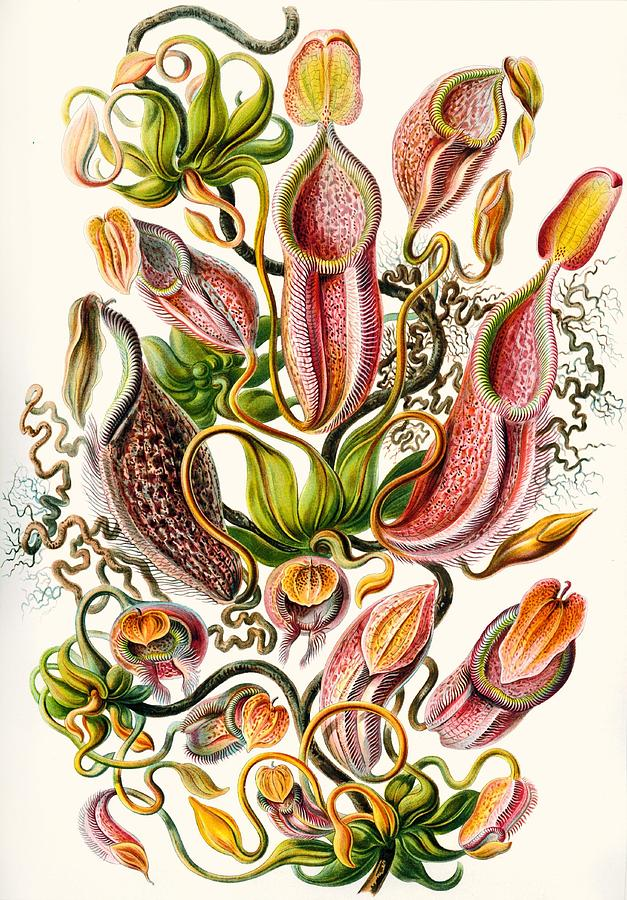 A Collection Of Nepenthaceae Drawing