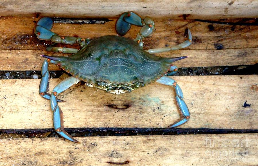 Green Photograph - A Crab In A Wooden Box by Olga R