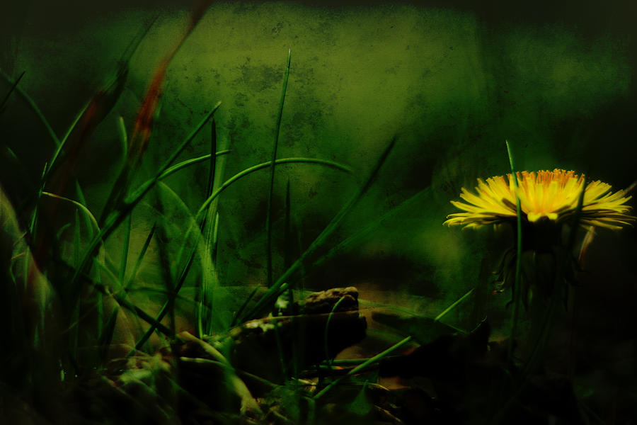 A Darkness Befalls The Dandelion Photograph  - A Darkness Befalls The Dandelion Fine Art Print