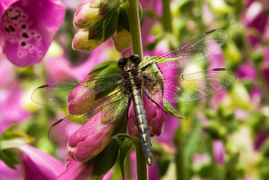 A Dragon Fly Resting In A Forest Of Foxgloves Photograph