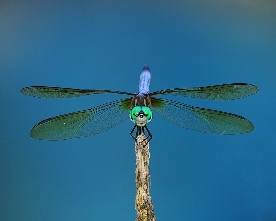 A Dragonfly Photograph - A Dragonfly IIi by Raymond Salani III