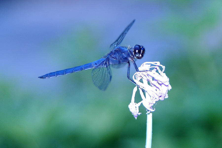 A Dragonfly Photograph - A Dragonfly V by Raymond Salani III