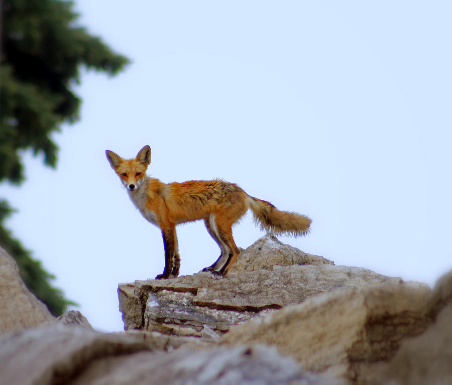 A Fox On The Rocks Photograph