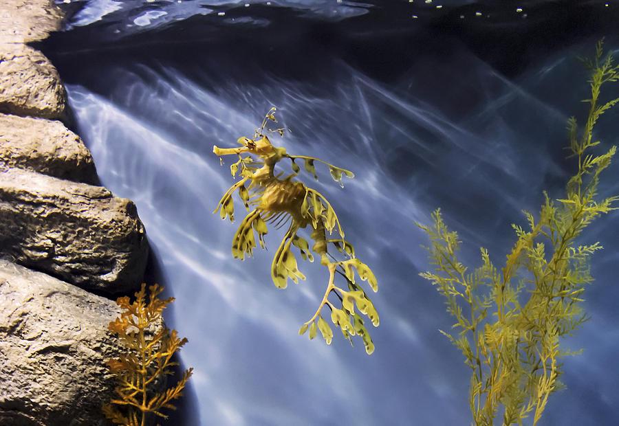 A Funny Seahorse--leafy Seadragon Photograph