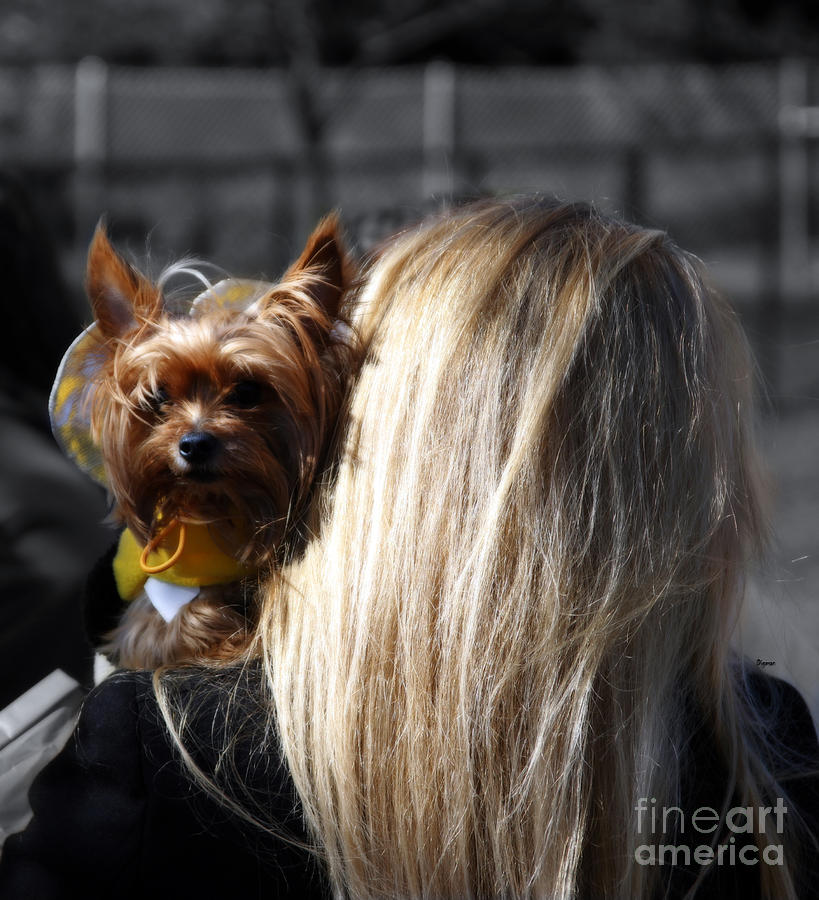 Yorkshire Terrier Photograph - A Girl And Her Dog by Steven  Digman