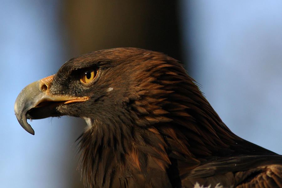 A Golden Eagle Photograph