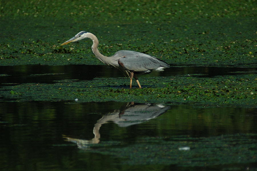 A Heron Hunting Photograph