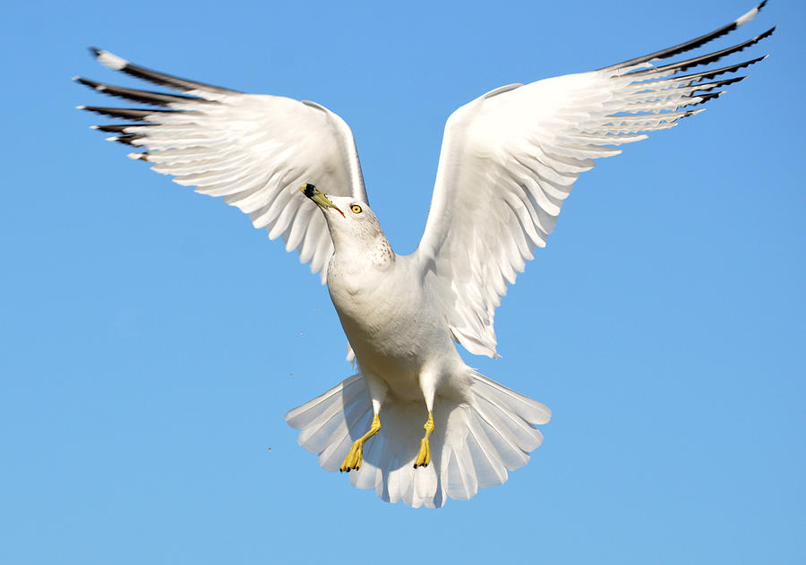 A Higher Gull Photograph  - A Higher Gull Fine Art Print
