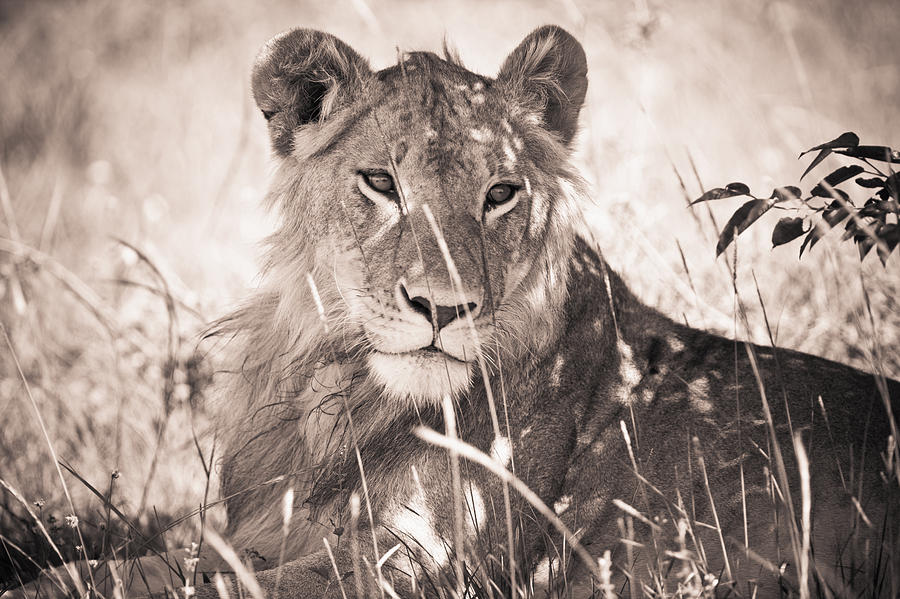 A Lioness Lays In The Shade Kenya Photograph  - A Lioness Lays In The Shade Kenya Fine Art Print