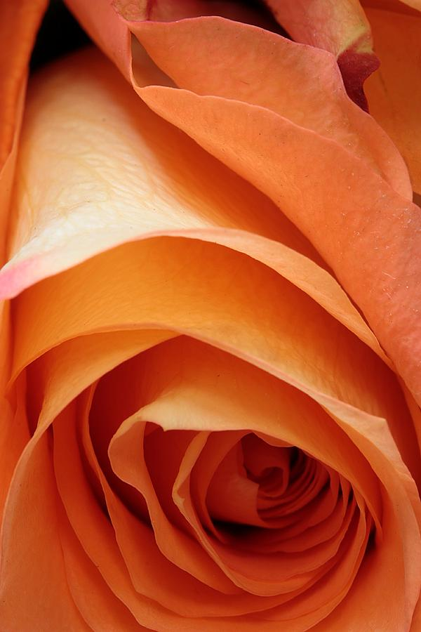 Rose Photograph - A Pareo Rose by Joe Kozlowski