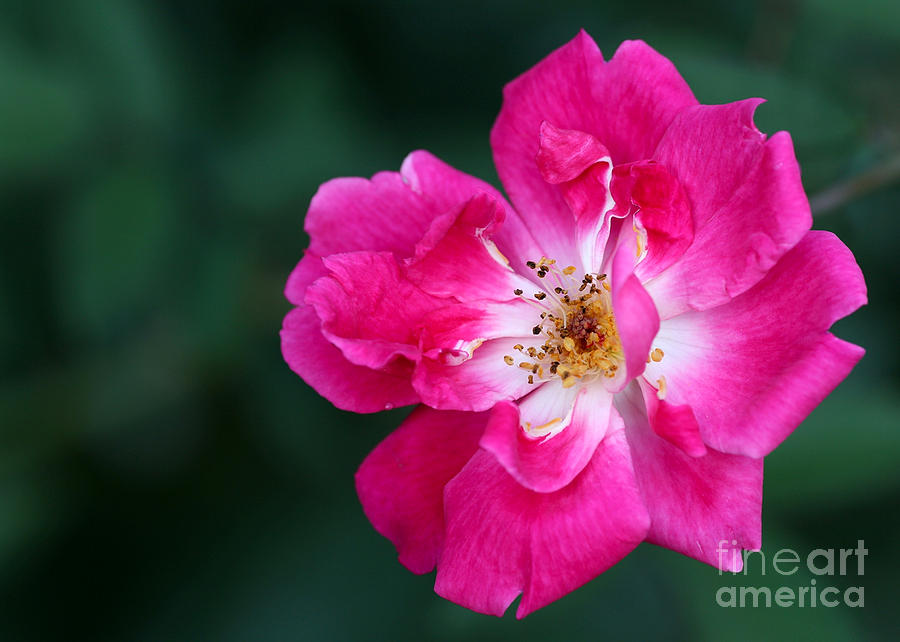 A Pretty Pink Rose Photograph
