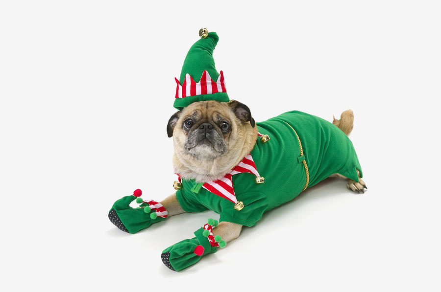 A Pug In A Christmas Elf Costumest Photograph