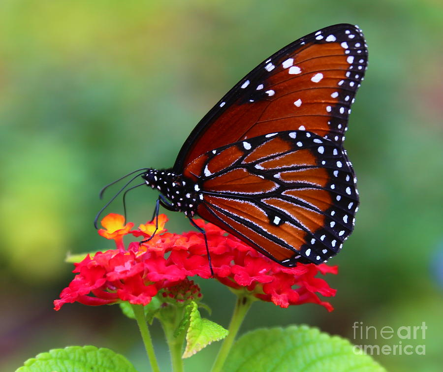 Queen Butterfly Photograph - A Queen by Marty Fancy