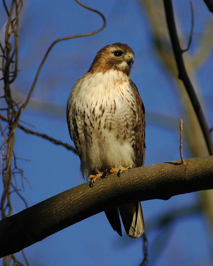A Red Tail Hawk Photograph