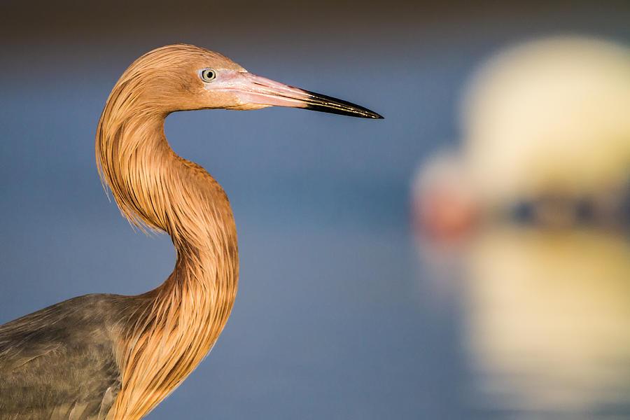 A Reddish Egret Profile Photograph