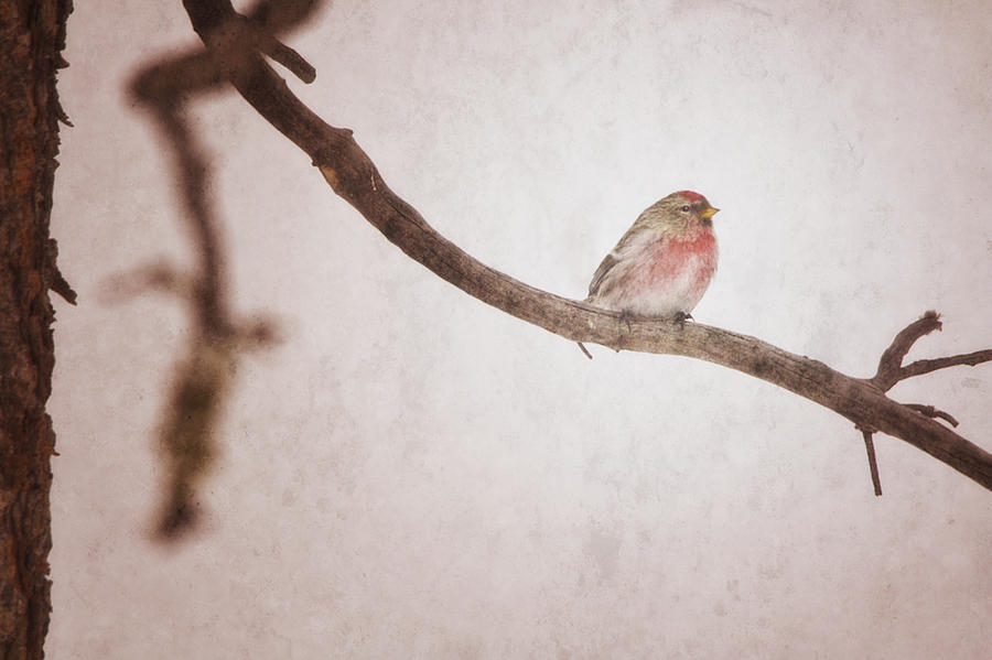 A Redpoll Bird On The Branch Of A Pine Photograph