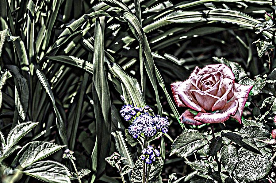 A Rose And Company Photograph  - A Rose And Company Fine Art Print