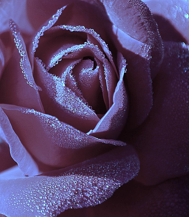A Rose That Glitters Photograph  - A Rose That Glitters Fine Art Print