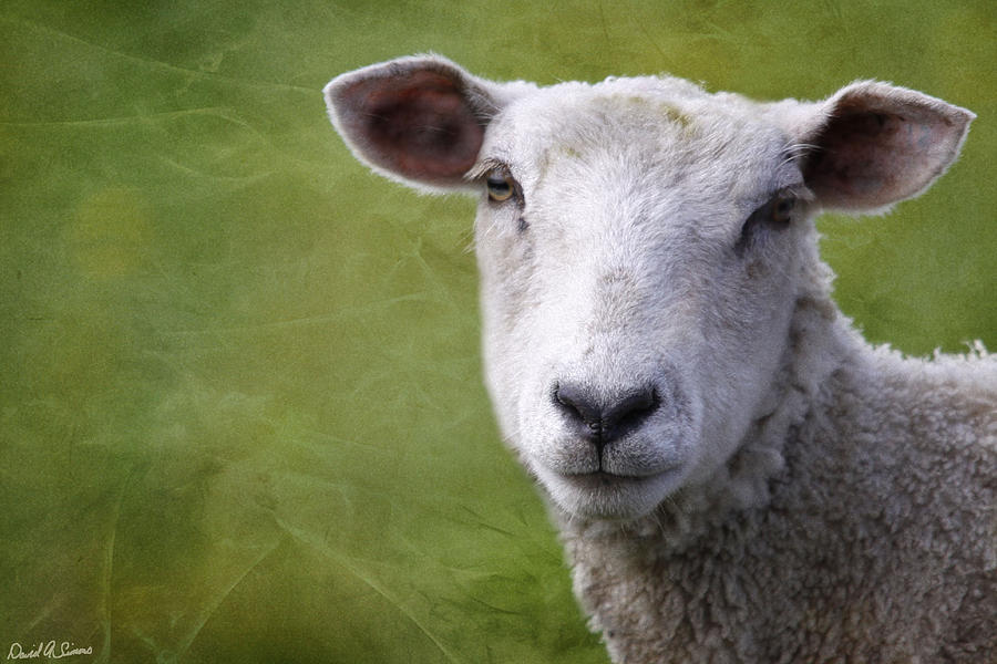 A Sheep Photograph