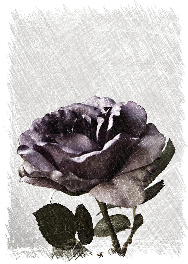 A Sketch Of A Rose Photograph  - A Sketch Of A Rose Fine Art Print