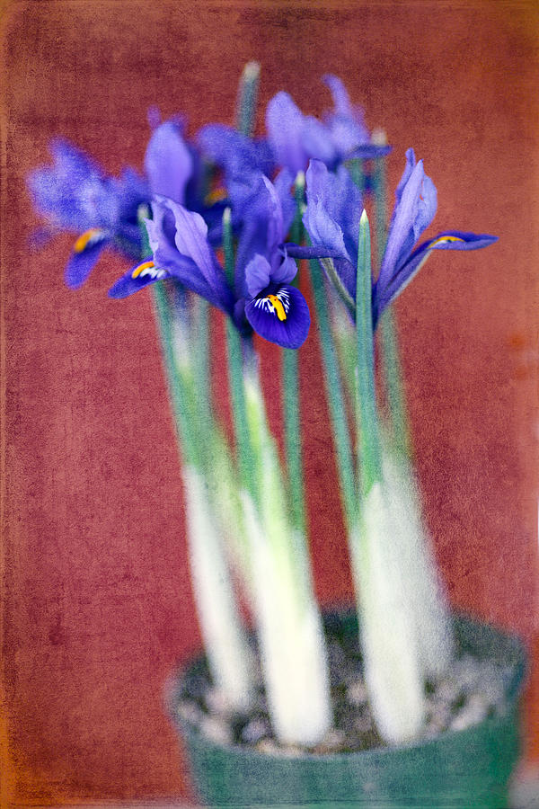 Iris Photograph - A Spot Of Color by Rebecca Cozart