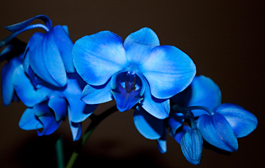 A Stem Of Beautiful Blue Orchids Photograph