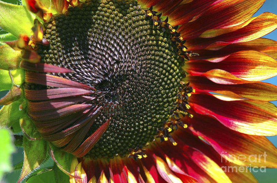 A Sunflower For The Birds Photograph