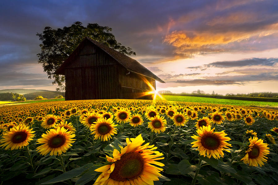 A Sunflower Moment Photograph By Debra And Dave Vanderlaan