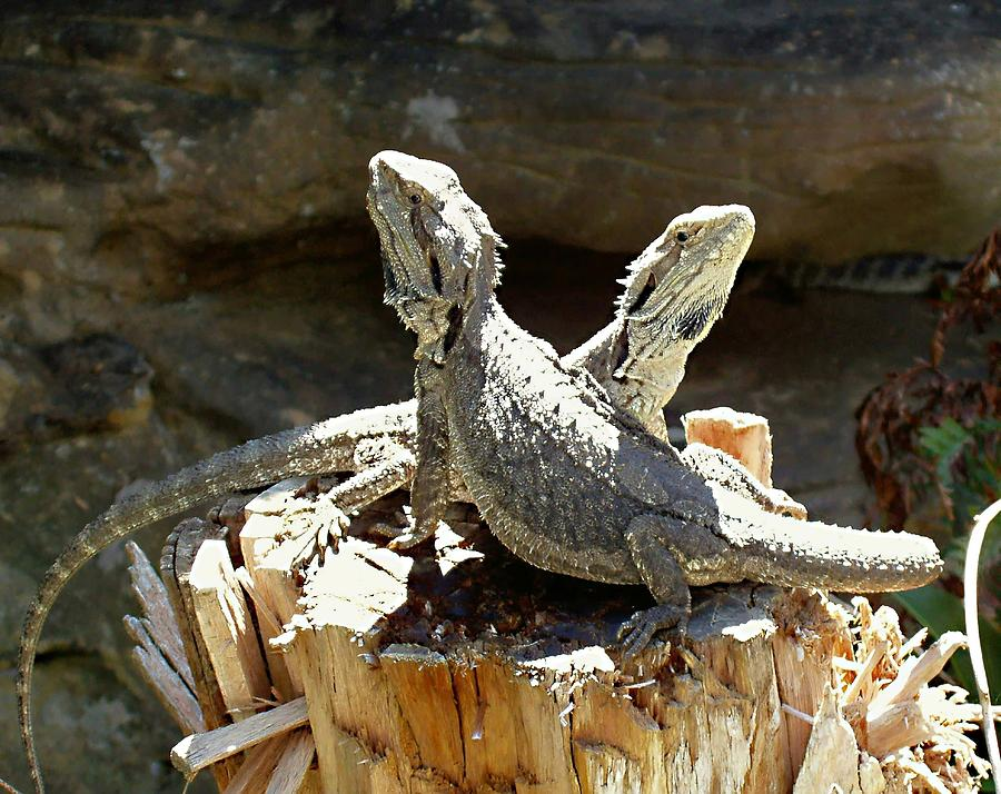 A Tale Of Two Reptiles Photograph  - A Tale Of Two Reptiles Fine Art Print