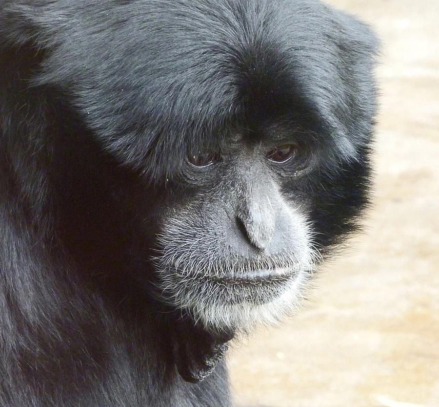 A Thoughtful Siamang Photograph  - A Thoughtful Siamang Fine Art Print