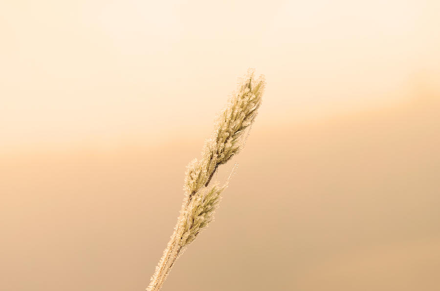 A Wheat Branch  Photograph