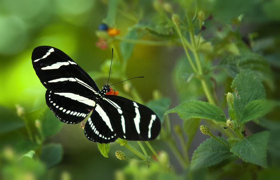 Zebra Longwing Butterfly Photograph - A Zebra Longwing Butterfly  by Saija  Lehtonen
