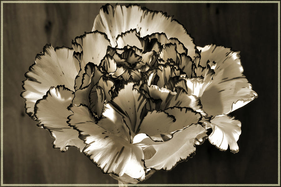 Abstract Carnation Photograph