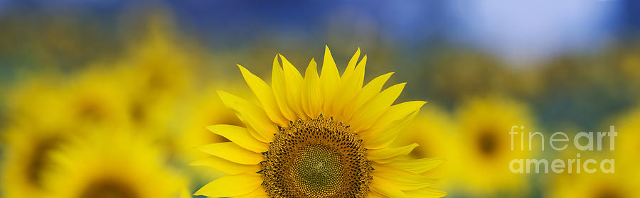 Abstract Sunflower Panoramic Photograph