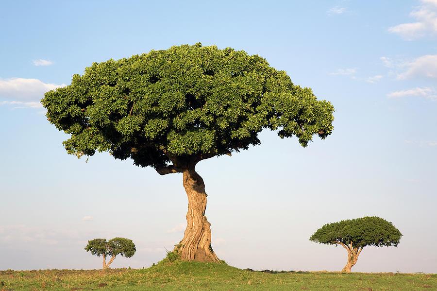 Acacia Photograph - Acacia Trees Masai Mara Kenya by Ingo Arndt