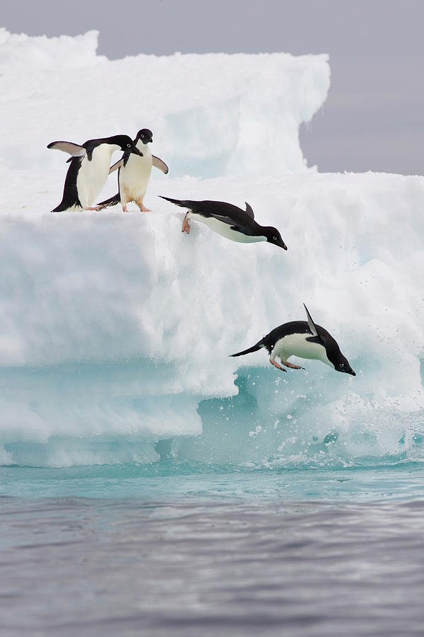 Adelie Penguins Diving Off Iceberg Photograph