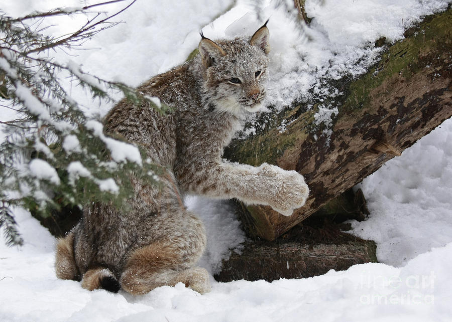 Adorable Baby Lynx In A Snowy Forest Photograph  - Adorable Baby Lynx In A Snowy Forest Fine Art Print