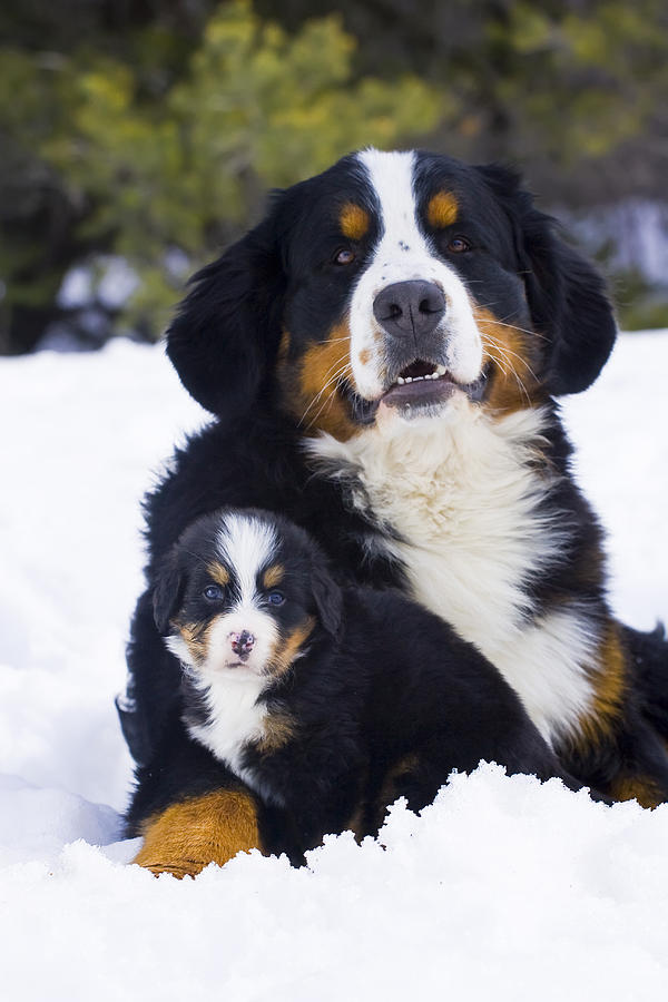 1000 images about berner sennen on pinterest bernese mountain dogs puppys and mountain dogs. Black Bedroom Furniture Sets. Home Design Ideas