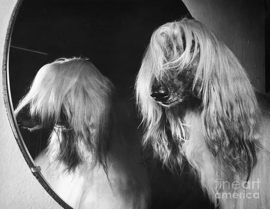 Afghan Hound Photograph