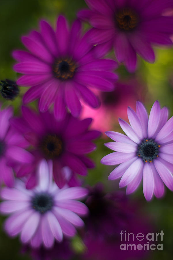 Flower Photograph - African Daisy Collage by Mike Reid