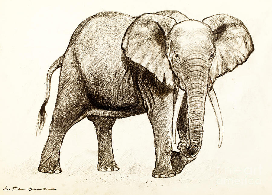 sketch of an elephant | Drawing Pics