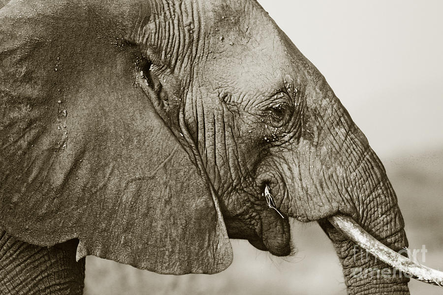 African Elephant Profile Duotoned by Liz Leyden