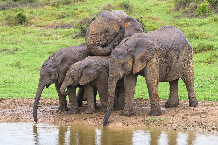 Biology Photograph - African Elephants by Science Photo Library