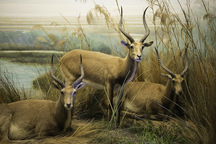 African Impalas Photograph