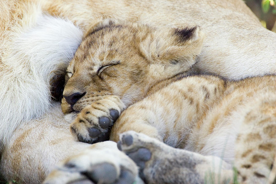 African Lion Cub Sleeping Photograph