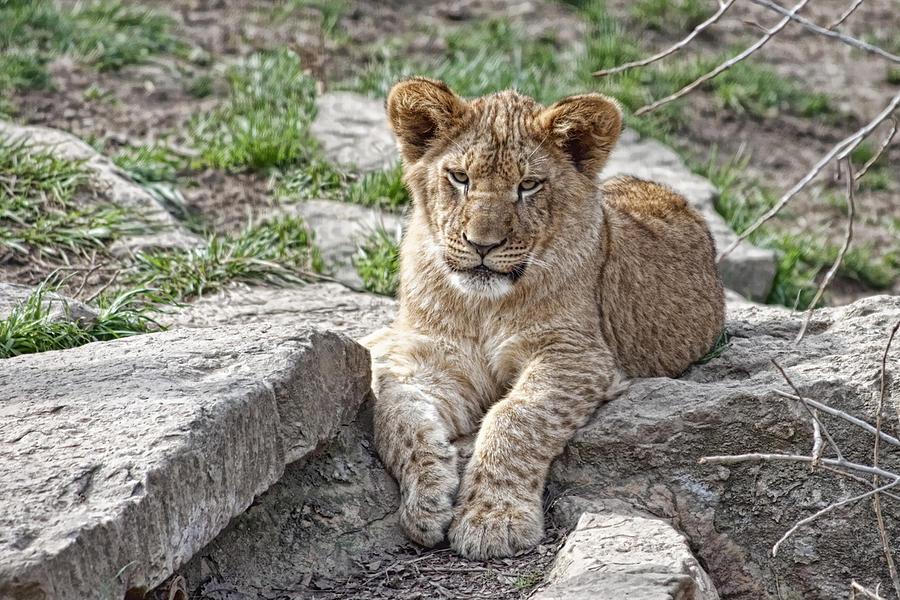 African Lion Cub Photograph