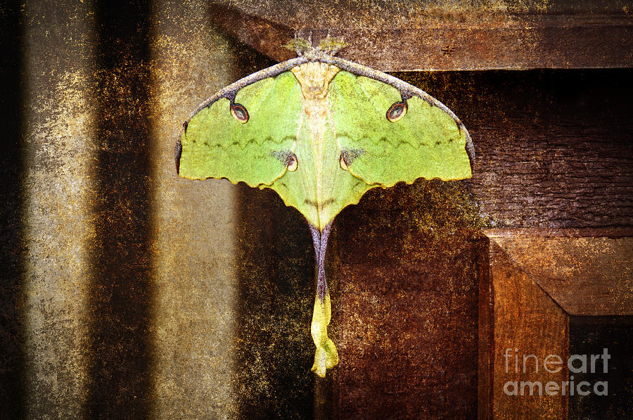 African Moon Moth 2 Photograph