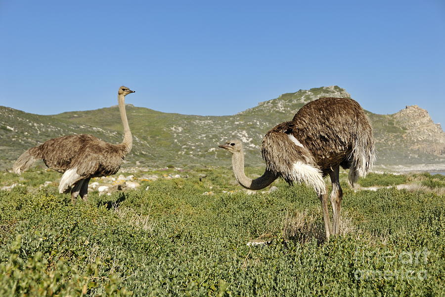 African Ostriches Foraging Next To Beach Photograph