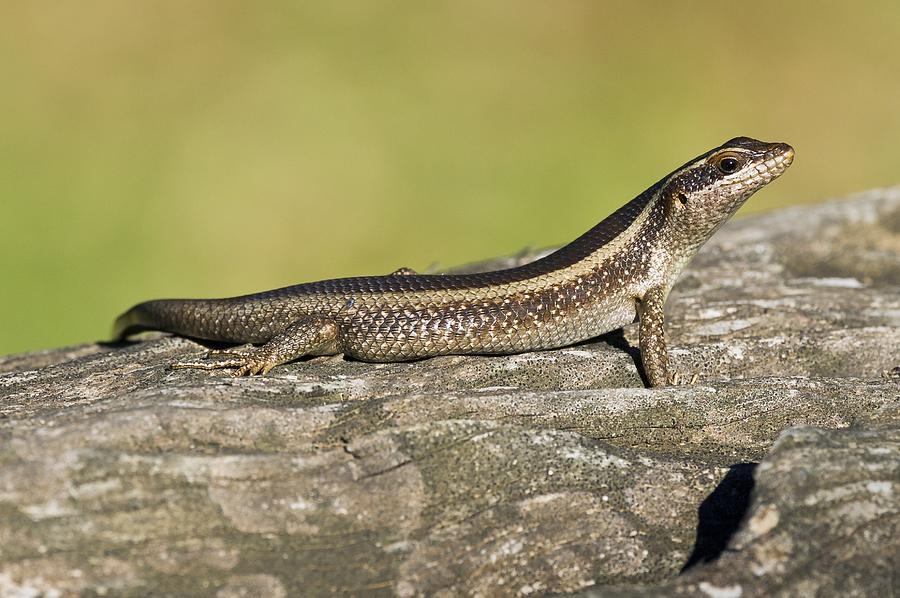 African Striped Skink On A Rock Photograph